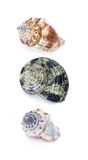 Three sea shell Royalty Free Stock Images
