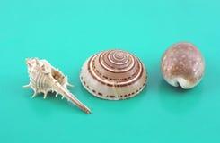 Three sea shells Royalty Free Stock Images