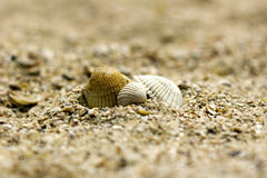 Three sea shells of different colors among Royalty Free Stock Photography