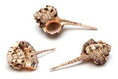 Three sea shells Stock Photos