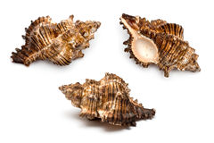 Three sea shells royalty free stock photos