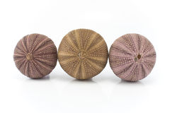 Three sea urchin shells Stock Image