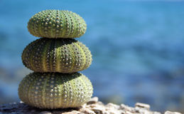 Three sea urchins Royalty Free Stock Images