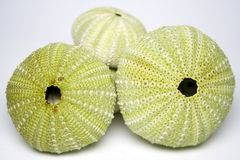 Three Sea urchins. Arranged together on a white background Stock Photography
