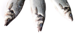 Three seabass fishes on a white background Stock Photos