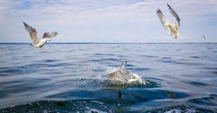 Three seagull birds rivals Royalty Free Stock Photos