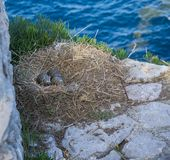 Three seagull eggs in a nest on rocks Stock Photo
