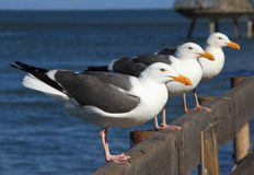 Three Seagull, Trio, Triple Royalty Free Stock Image