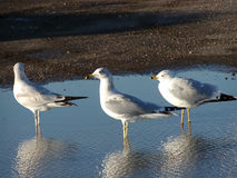 Three Seagulls Royalty Free Stock Photos