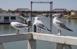 Three Seagulls Stock Photography