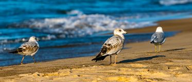 Three Seagulls on the Beach at Lake Michigan In Michigan City Indiana during the Summer sun. With a beautiful Bokeh background stock photo