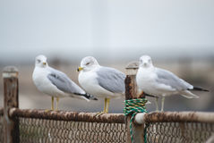 Three Seagulls on a Cloudy Day. Three seagulls perched on a fence, with selective focus on the middle seagull Royalty Free Stock Image