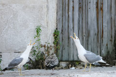 Three seagulls on concrete. Three seagulls standing on concrete floor and two of them with open mouth shouting Royalty Free Stock Image