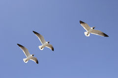 Three seagulls in flight. Three seagulls & blue sky freely flying above Stock Photography