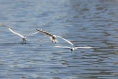 Three seagulls in flight Royalty Free Stock Photography