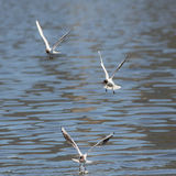 Three seagulls in flight over the water Stock Photos