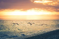 Three seagulls fly along the coastline of the beach on the background of a beautiful sunset. Toned image royalty free stock image