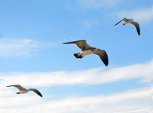 Three seagulls. Seagulls fly in the sky Royalty Free Stock Photography
