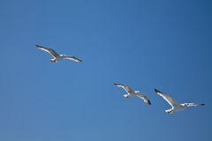 Three seagulls flying above in blue sky. Three beautiful seagulls flying above in blue sky Stock Images