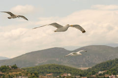 Three seagulls flying against a beautiful background. Stock Photo
