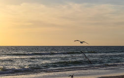 Three Seagulls. Flying on the beach Stock Images