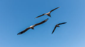 Three Seagulls Flying With Blue Sky Background. Seagulls Flying With Blue Sky Background Stock Photography