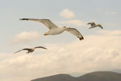 Three seagulls flying free up in the air. Stock Images