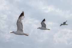 Three seagulls flying in line. Seagull in flight, aligned. Taken in Croatia Royalty Free Stock Photography