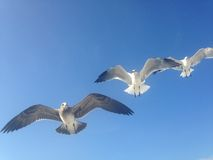 Three Seagulls Flying on Long Beach, Long Island. Three seagulls flying on Long Beach, Long Island, New York Stock Photo