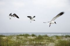 Three Seagulls Flying Over Beach. Royalty Free Stock Photos