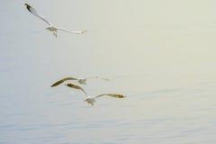 Three seagulls flying. Stock Photos