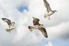 Seagulls flying in the sky Royalty Free Stock Images