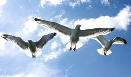 Three seagulls flying in the sky over blue sea stock image
