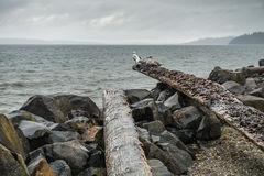 Three Seagulls On Log. Three seagulls sit on a driftwood log on an overcst day in the Pacific Northwest Stock Images