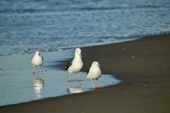 Three seagulls looking for food on the shore. In california with the ocean in the background Royalty Free Stock Photo