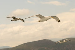 Three seagulls in motion. A beautiful moment Stock Photos