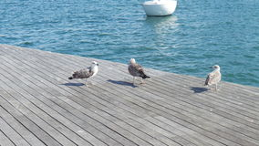 Three seagulls near blue water and a boat in the distance Royalty Free Stock Images
