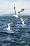 Three Seagulls. On the ocean Royalty Free Stock Images