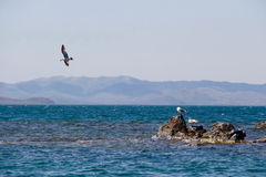 Three seagulls, Far Eastern Maritime preserve, Russia Stock Photography