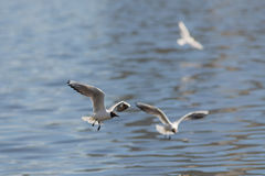 Three seagulls over water. Three seagulls in flight over the water of the river Stock Photography