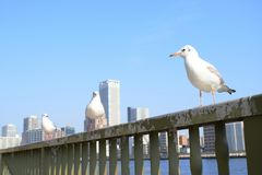 Three Seagulls relax at Sumida river in Tokyo bay. In Japan Tokyo bay, Sumida river goes cross the city, there are some bridges connected the city, a lot of Royalty Free Stock Photos