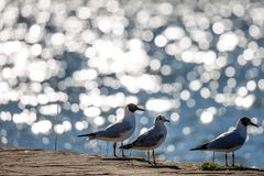 Three seagulls resting at the lake. Three seagulls resting at the shore next to the blue waters of lake Pamvotida, close to the old small Greek town of Ioannina Royalty Free Stock Photo