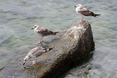 Three seagulls resting on rock Stock Image