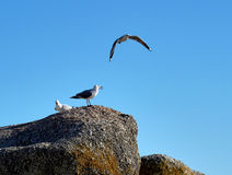 Three seagulls. On a rock on the shore of Cape Town, South Africa Royalty Free Stock Photography