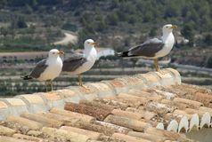 Three seagulls on roof top. Three seagulls on a tiled roof top. Landscape of generic vegetation in the background Stock Images