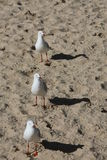 Three seagulls in row. Three seagulls in line on the beach Royalty Free Stock Photos