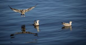 Three Seagulls at Sea. Two floating birds and one in flight Stock Images
