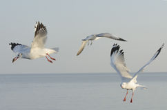 Three seagulls. Seasonal migratory seagull along the Gulf of Thailand Stock Photography
