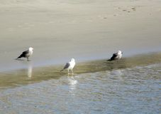 Three seagulls on shoreline at Pacific Ocean royalty free stock images