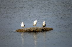 Three seagulls sit on a stone in the sea.  Royalty Free Stock Image